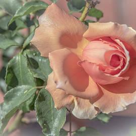 Creamy Peach Rose by Venetia Featherstone-Witty