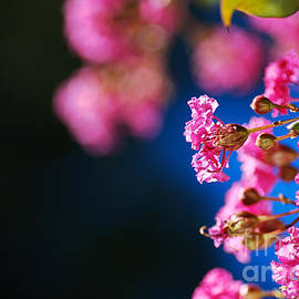 Crepe Myrtle Pink by Joy Watson