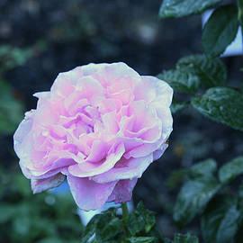 Creshendo Rose Beauty by Robert Tubesing