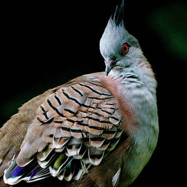 Crested Pigeon 3 by Jennette Lau