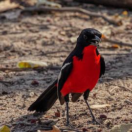 Crimson Breasted Shrike by John Haldane