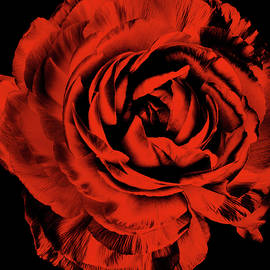 Crimson Red Ranunculus Floral on Black  by Silver Spiral Studio
