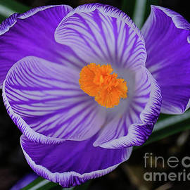 Crocus From Above by Neil Maclachlan