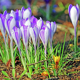 Crocus In The Wild by Debbie Oppermann