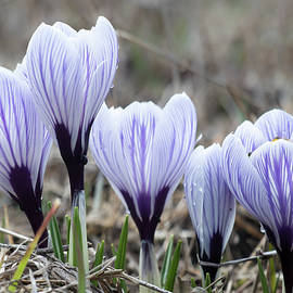 Crocus Spring messenger  by Nick Mares