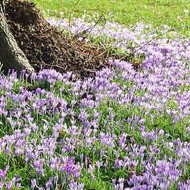 Crocuses In Full Bloom WF by Lynne Iddon