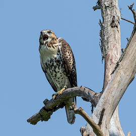Cry of the Red-tail by Kristine Patti