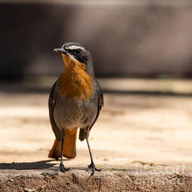 Curious Cape Robin-Chat by Eva Lechner