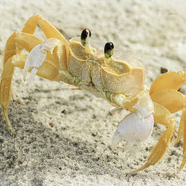Curious Ghost Crab by Jurgen Lorenzen