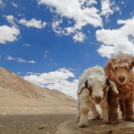 Curious goats by Murray Rudd