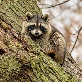 Curious Raccoon Watching #2 by Morris Finkelstein