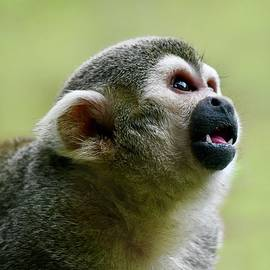 Curious Squirrel Monkey by Richard Bryce and Family