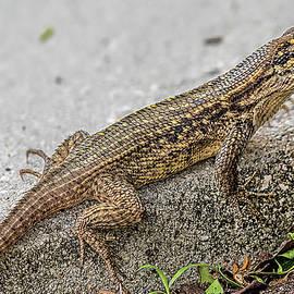Curly-tailed Lizard 1198 by Matthew Lerman