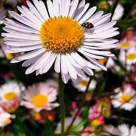Cute bug on a nice daisy by Vanessa Wong