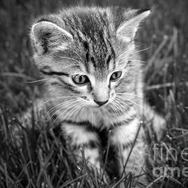 Cute kitten baby cat in grass black and white portrait by Gregory DUBUS