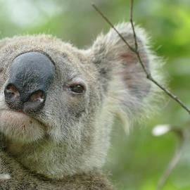 Cute Koala Close Up by Maryse Jansen