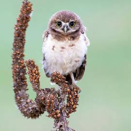 Cute young Burrowing Owl by Judi Dressler