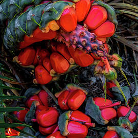 Cycad Fruit by Bette Devine