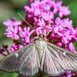 Cydalima Perspectalis butterfly boxwood insect macro by Gregory DUBUS