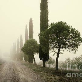 Cypress trees in the mist, Tuscany by Justin Foulkes