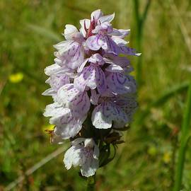Dactylorhiza maculata, Heath Spotted Orchid by Lesley Evered