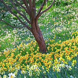 Daffodil Delight by Allen Beatty