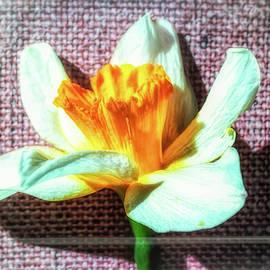 Daffodil On Canvas by Jim Love