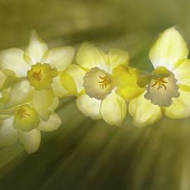 Daffodil Ray by Alinna Lee