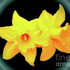 Daffodills - Tillamook - Oregon by Artistic Oregon Photo