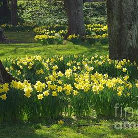 Easter Daffodils At Dartington by Lesley Evered