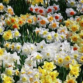 Daffodils in Spring by Susan Allen