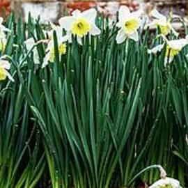 Daffodils In The Rain by Richard Thomas