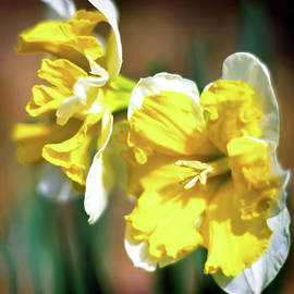 Daffodils in the Sun by Susan Maxwell Schmidt
