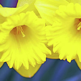 Daffydils by Debbie Oppermann
