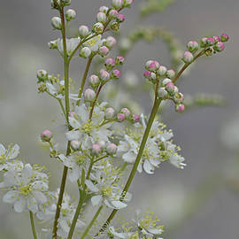 Dainty Blossoms by Dorothy Pinder