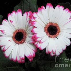 Dainty Duo - Pink Tipped Gerbera Daisies by Kathryn Jones
