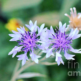 Dainty Purple and White by Debby Pueschel