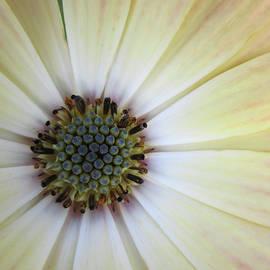 Daisy  3 by Elizabeth Kardasiewicz