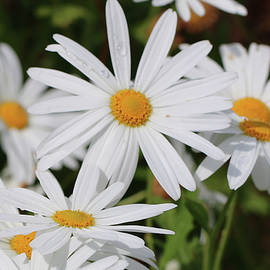 Daisy a Day by Alison A Murphy