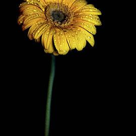 Daisy After The Night Rain by Sandi Kroll