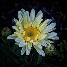 Daisy by Denise Harty