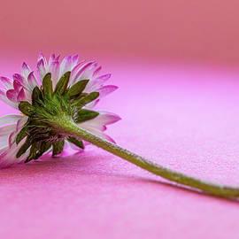 Daisy Flower by Stephen Jenkins