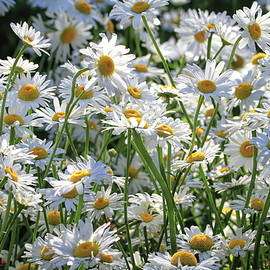 Daisy Party by Donna Kennedy