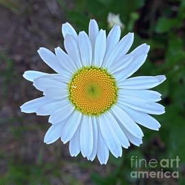 Daisy by PROMedias Obray