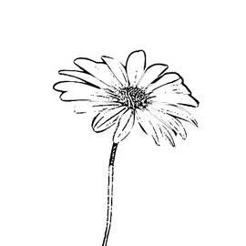 Daisy Sketch by Alison Frank