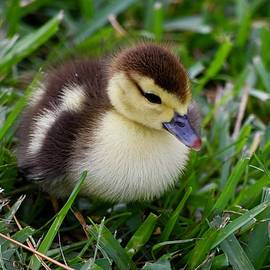 Daisy's Precious Duckling by Richard Bryce and Family