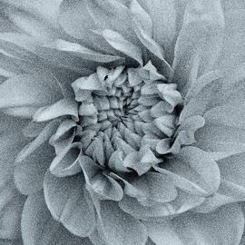 Dalia Flower   by Clive Beake