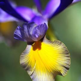 Dancing Iris by Joy Watson
