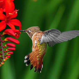 Dancing Rufous by Wes and Dotty Weber