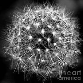 Dandelion Geometry by Lennie Malvone